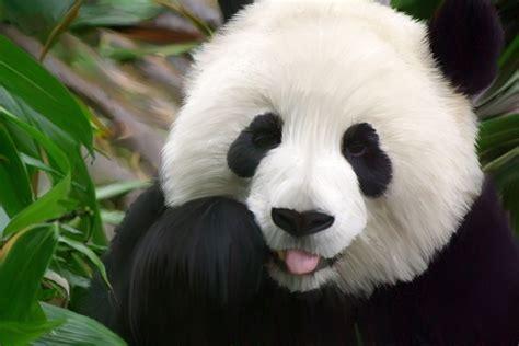 wallpaper hd panda cute panda hd wallpaper animals wallpapers