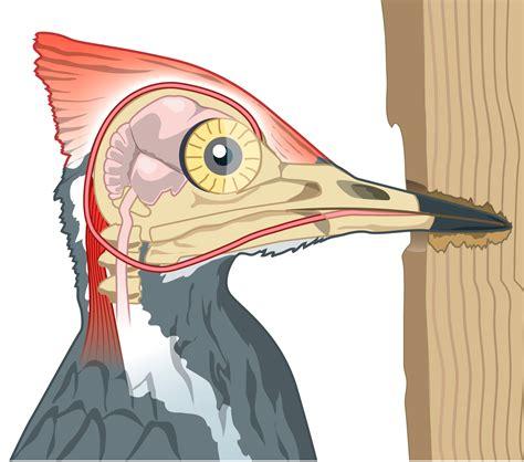 woodpecker facts for kids woodpecker skull dk find out