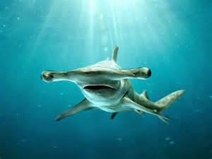 le grand requin marteau sphyrna mokarran 0 geo fr