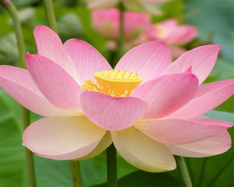 wallpaper bunga lotus manfaat bunga lotus bunga seroja wallpapers13 com