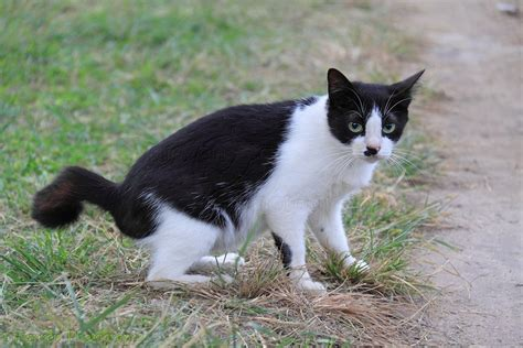 Black and white 'club tailed' stray cat photo WP31677