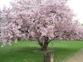 prunus accolade flowering cherry leafland