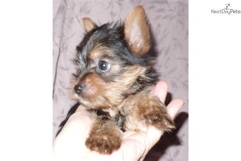 yorkies for sale indianapolis karem terrier yorkie puppy for sale near indianapolis indiana 35d3d3be