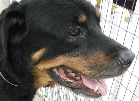 rottweiler rescue virginia gulfstream guardian rottweiler rescue pets world