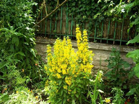 fleurs jaunes jardin monet photo de giverny le d