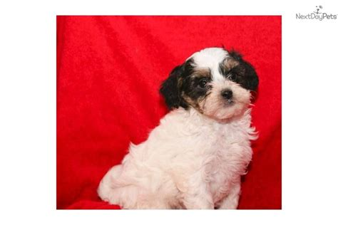 teacup yorkie poo white yorkiepoo yorkie poo puppy for sale near columbus ohio b693c736 5e81