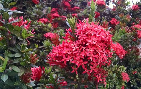 Flowering Garden Plants Free Images Nature Bush Evergreen Botany Garden Flora Plants Shrub Rhododendron Ixora