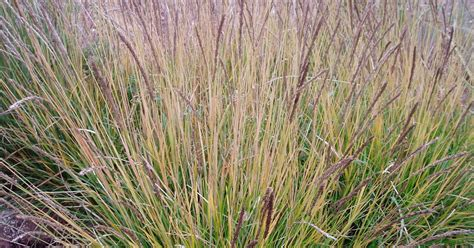 lovegrass farm seslaria autumnalis ornamental grass at lovegrass farm