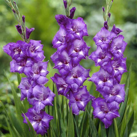 flower picture gladiolus