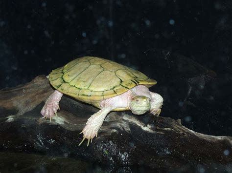 Does A Turtle Need A Heat L Care Sheet Red Ear Slider