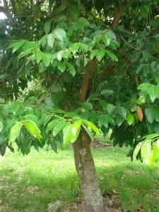 Delicious Pianta Sempreverde Da Giardino #1: cinnamomum_zeylanicum_pianta_3b368692.jpg