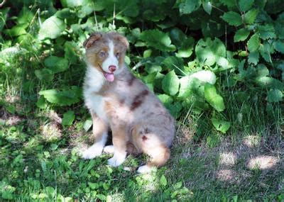when will my puppy stop growing at what age will my australian shepherd puppy stop growing