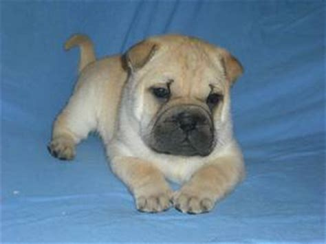 shar pei x pug puppies for sale shar pei x pug puppies calgary canada free classifieds muamat