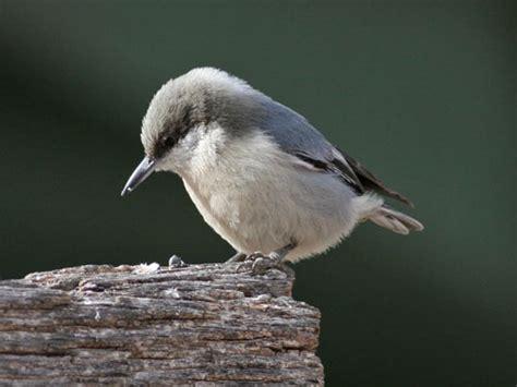 pygmy nuthatch nebraska bird library