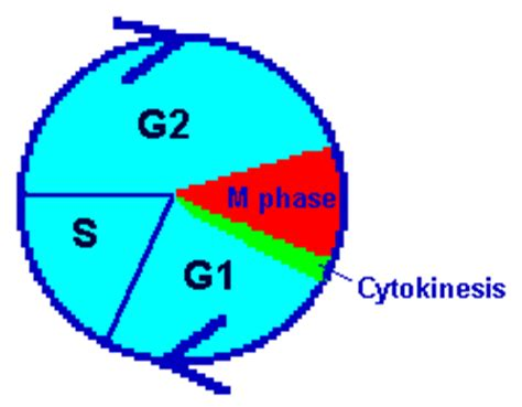 cell cycle diagram clipart best