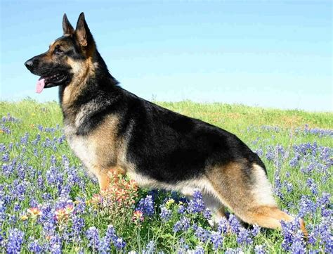 german dogs german shepherd breed guide learn about the german shepherd