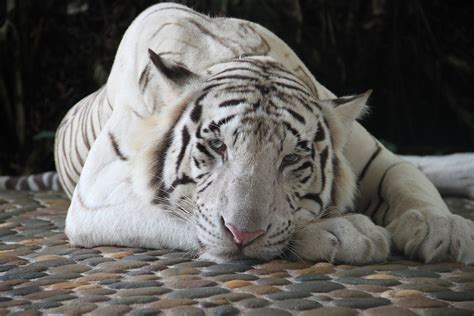 White Zoo tiger white zoo 183 free photo on pixabay