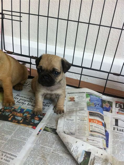 pugs for sale chelmsford 2 pretty left chelmsford essex pets4homes