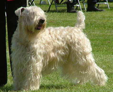 soft haired wheaten terrier puppy soft coated wheaten terrier breed guide learn about the soft coated wheaten terrier