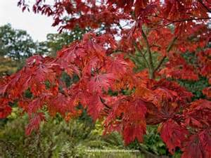 japanese maple leaf tattoo meaning