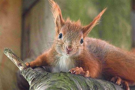 wo schlafen eichhörnchen eichh 246 rnchen notruf e v die eichh 214 rnchen