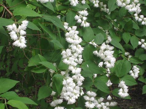 an old fashioned shrub deutzia scabra