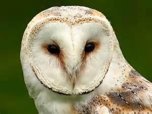 barn owls facts barn owl facts for barn owl diet habitat