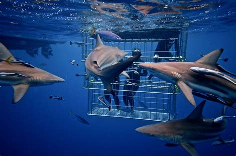 cage dive with sharks shark cage diving durban snorkelling with sharks