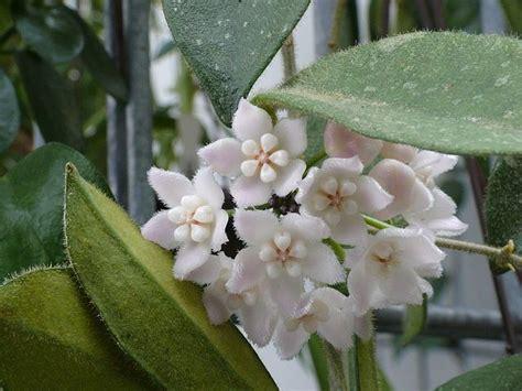 pianta fiori bianchi profumati pianta ricante fiori bianchi profumati fabulous piante