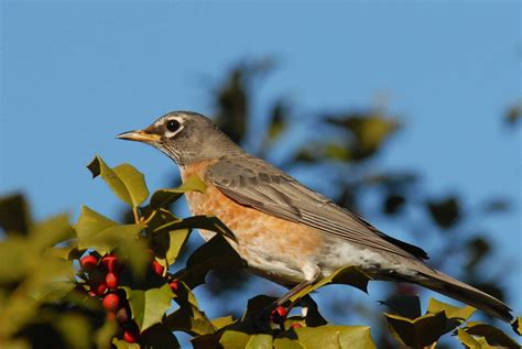 best 28 what bird looks like a robin american robin