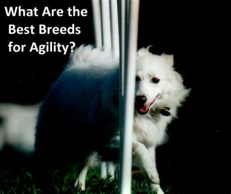 what is the best breed of what are the best agility breeds pethelpful