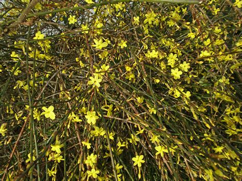yellow flowering shrubs shrubs with yellow flowers cox garden designs