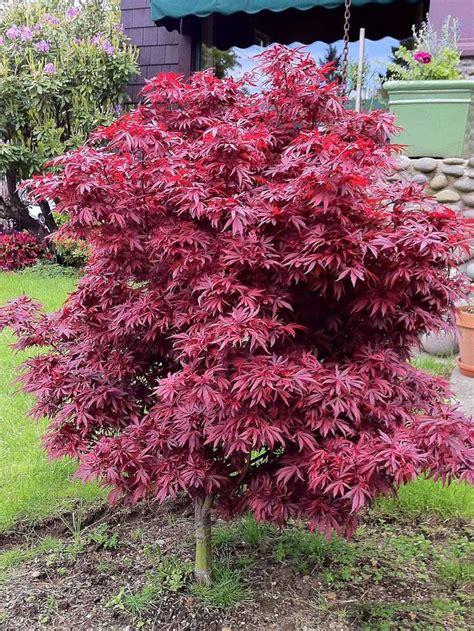 the 25 best japanese maple tree ideas on japanese maple japanese maple