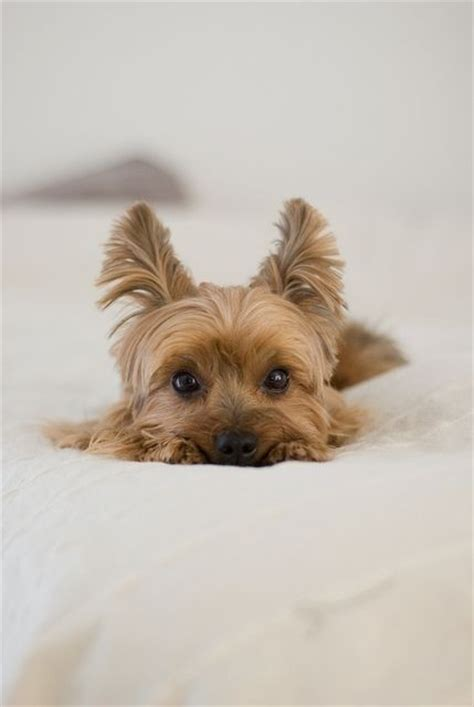 silky terrier with haircut 239 best images about yorkies puppy love on pinterest yorkshire terrier dog puppys and yorkie