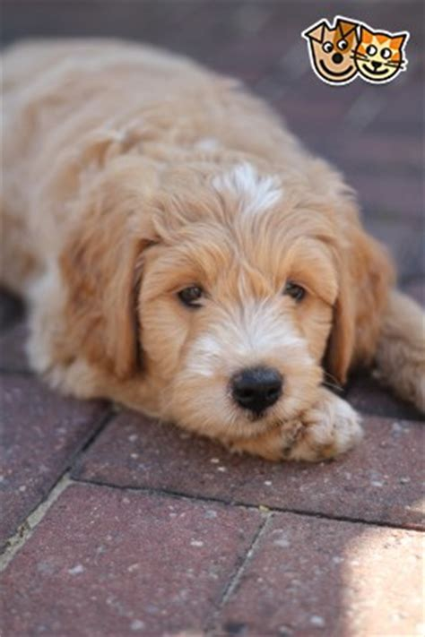 goldendoodle puppies for sale in kent stunning goldendoodle puppies ashford kent pets4homes
