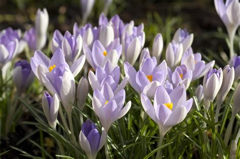 how to grow early flowering bulbs the english garden