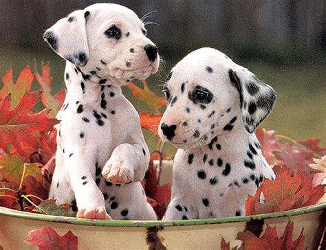 baby dalmatian puppies dalmatian dogs baby animal zoo
