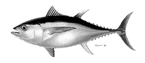mancing nila babon dengan umpan cutton bud spot mancing gambar ikan nila gambar v