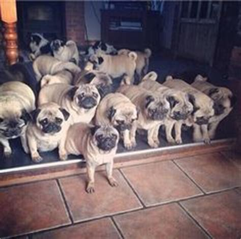 pug herd animals pugs on pugs baby pugs and black pug