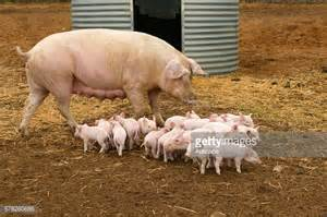 large white large white pig stock photos and pictures getty images