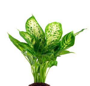 pflanzen die keine sonne brauchen pflanzen f 252 r r 228 ume mit wenig licht hausgarten net