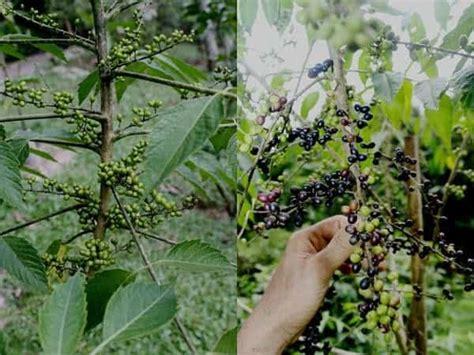 membuat obat bius dari tumbuhan jenis tanaman obat lengkap dari a z beserta gambar dan