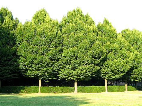 european trees carpinus betulus european hornbeam musclewood ironwood
