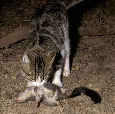 how to a feral national feral cat management survey conservation science