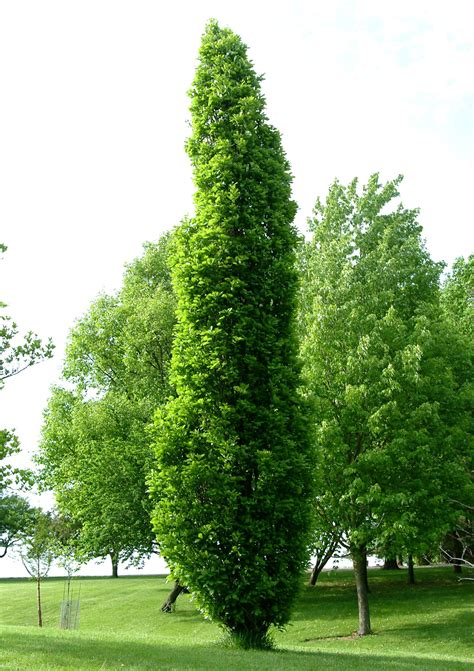 thin tree grobe s nursery and garden centre trees1