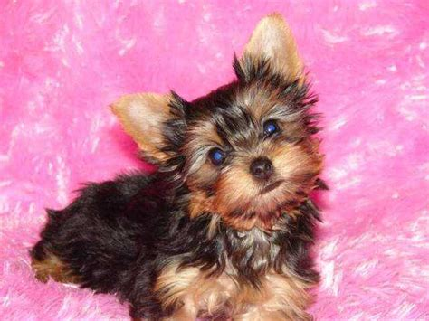 teacup yorkie breeders ontario free new teacup yorkie puppies for adoption for sale from sudbury ontario adpost