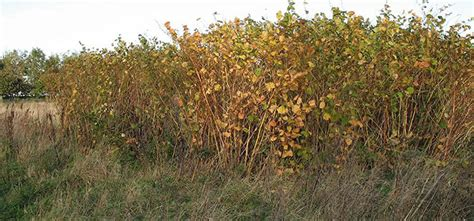 would you buy a house with japanese knotweed everything you need to know about japanese knotweed