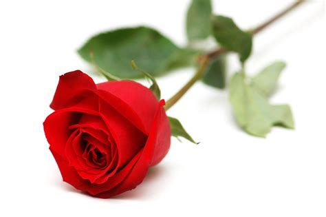 imagenes rosas dark red rose with white backgrounds wallpaper cave