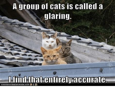 Glaring Meme - a group of cats is called a glaring find that entirely
