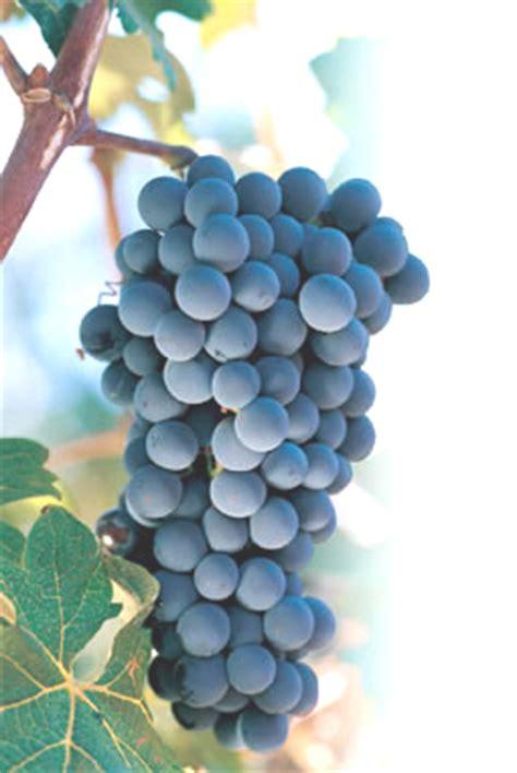 imagenes de uva malbec pregon agropecuario 191 bonarda al mismo nivel del malbec